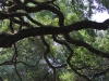 angel-oak-branches