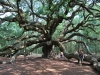 angel-oak-johns-island