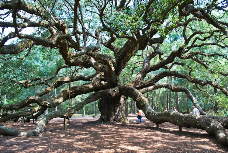 The Angel Oak in Charleston, SC